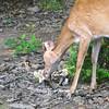 Deer Eating Mushroom