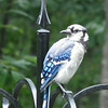 Young Blue Jay Getting Its Full Color