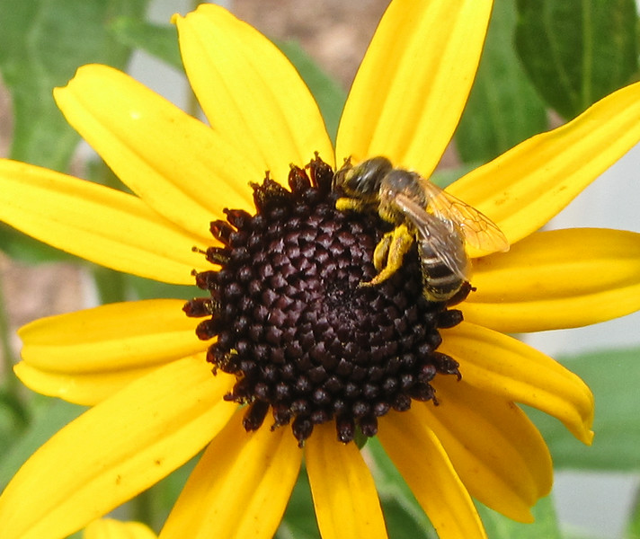 This Bee Was 1/4 Inch Long - Legs Full of Pollen