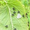 Stink Bug (Pentatomidae) Eggs and Babies on Blue-Black Salvia Leaf