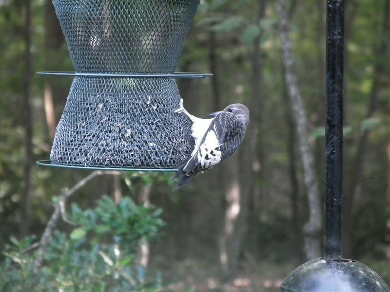 Juvenile Red-headed Woodpecker at Sunflower Seed Feeder<br /> Notice the tiny patch of red coming in on its head.