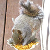 Our Dried Mealworm-Eating Squirrel
