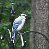 Young Blue Jay Getting Full Color
