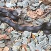 Black Rat Snake on Driveway - Looks Like He Hadn't Eaten in Awhile