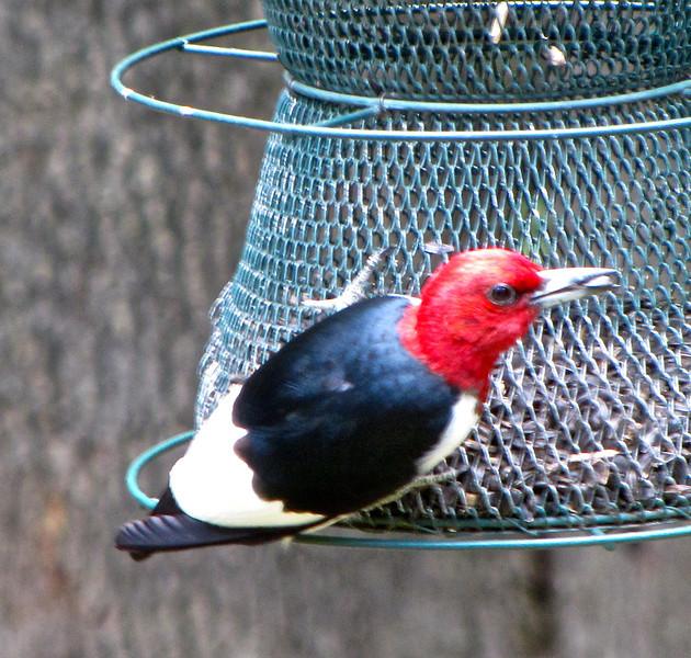 Male Red-headed Woodpecker With Seed in Beak