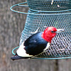 Male Red-headed Woodpecker With Seed in Beak
