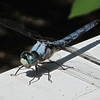 This Dragonfly Looks Like He's Got BIG Front Teeth