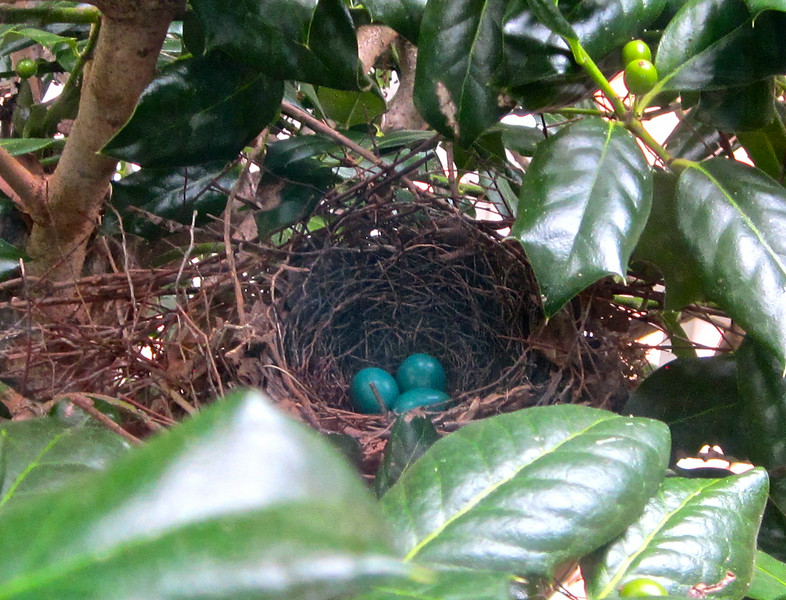 """Three Gorgeous Gray Catbird Eggs Still Unhatched - 7/15/14 <br> <a href=""""http://donnawatkins.smugmug.com/Bluebird-Cove-Our-Home-In/Gray-Catbird-Nest-at-Kitchen/"""">View gallery of all photos and videos</a> of the catbird nest day by day."""