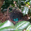 "Three Gorgeous Gray Catbird Eggs Still Unhatched - 7/15/14 <br> <a href=""http://donnawatkins.smugmug.com/Bluebird-Cove-Our-Home-In/Gray-Catbird-Nest-at-Kitchen/"">View gallery of all photos and videos</a> of the catbird nest day by day."