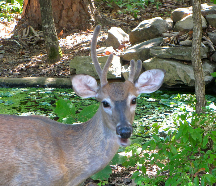 Younger Male Deer With Uneven Antlers by the Pond