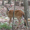 Male Deer in Backyard - Antlers Look Like Their Shaping as a Heart