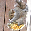 Squirrel Eating Mealworms on Deck