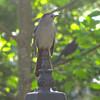Gray Catbird on Lamp Post