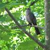 Gray Catbird Singing in a Tree