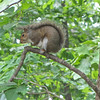 Cozy Squirrel on Tree Limb