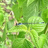 Femlae Azure Bluet (Enallagma aspersum) Pond Damsel in the Garden on Blue-Black Salvias