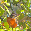A Robin From Our Annual Flock That Come in To Eat Up the Holly Berries