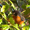 American Robin in Holly Tree