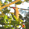 Cedar Waxwing Visits for Holly Berries<br /> A traditional event at Bluebird Cove in Winter.