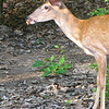 Young Buck - Such a Sweet Deer - Mushroom All Gone - Yummy