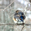 Eastern Bluebird One Chilly March Morning