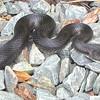 Black Rat Snake on Driveway Was Under Trash Can
