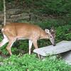 Visiting Little Buck - So Deer