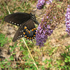 Underside of Spicebush Swallowtail Butterfly - Love The Polka Dots