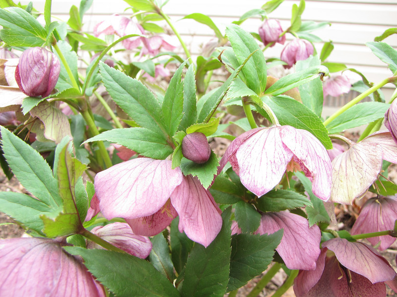 Hellebore Buds and Blooms