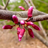 "Mr. Bud's Redbud Buds Waiting for Warm Day to Pop Open.  Read the story behind this tree:  <a href=""http://bit.ly/1Nt3roS""><b>Mr. Bud Survives the Crime</b></a>."