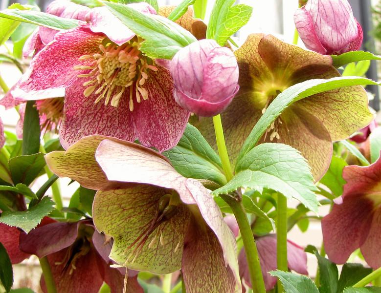 Hellebore Bloom Stages