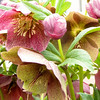 Hellebore Bloom Stages