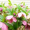 Hellebore Blooms and Buds