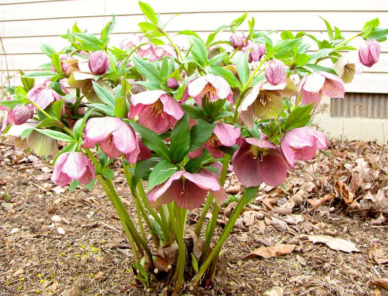 Hellebore Plant Outside Office Window