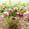 Hellebore Plant Outside Office Window