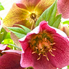 Hellebore Fresh Bloom & Faded Bloom