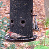 Male House Finch & White-breasted Nuthatch
