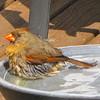 Female Cardinal Bathing