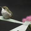 Female Ruby-throated Hummingbird on Garden Stake