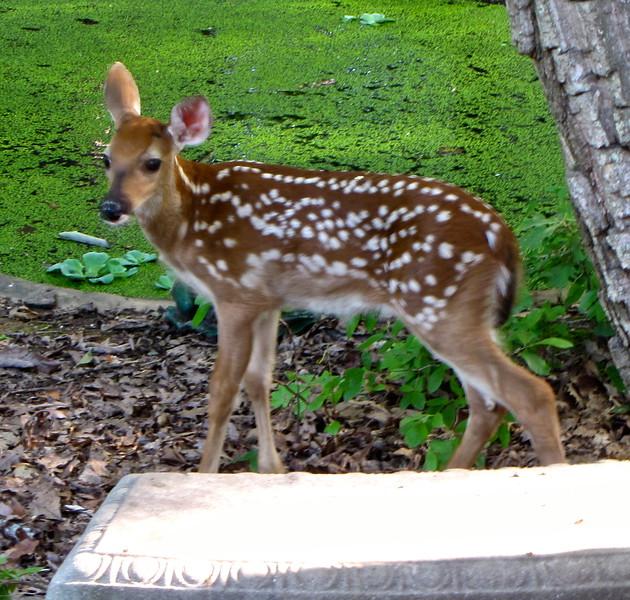 Fawn of Mama Love Deer - 2015