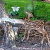 Mama Love Deer's Fawn of 2015