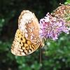 Underside of Great-spangled Butterfly on Butterfly Bush