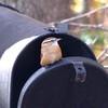 Carolina Wren on Backyard Mailbox