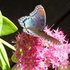 Red-spotted Purple Butterfly Feeding on Deck Sedum