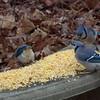 Three Blue Jays Enjoying Corn