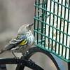 Yellow-rumped Warbler at Suet Feeder
