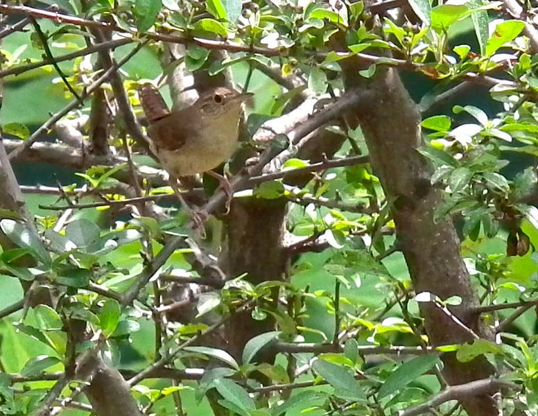 House Wren in Pyracantha (Firethorn) Bush