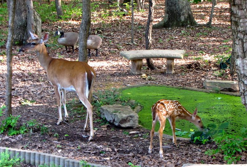 Mama Love Deer & Fawn of 2015