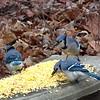 Three Blue Jays Feasting on Corn