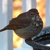 Hermit Thrush at Birdbath on Deck - First One I've Seen in our Habitat